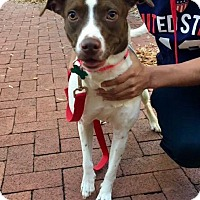 Pointer Dog for adoption in Washington, D.C. - Abigail