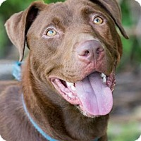 Labrador Retriever Mix Dog for adoption in Loxahatchee, Florida - Otis