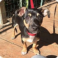 Dachshund/Miniature Pinscher Mix Puppy for adoption in Santa Ana, California - Davis
