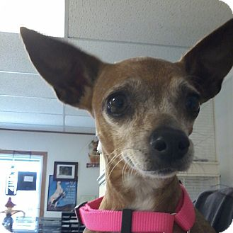 Chihuahua Dog for adoption in Olivet, Michigan - Layla