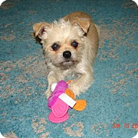 Brussels Griffon Dog for adoption in Tenafly, New Jersey - Mugsy
