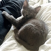 Adopt A Pet :: Ms. Grey, Russian Blue Beauty - Brooklyn, NY