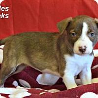 Adopt A Pet :: Pebbles - Yreka, CA