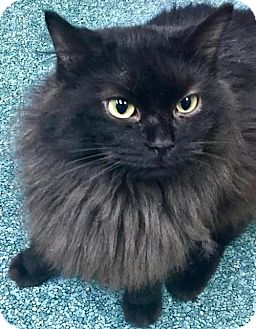 Domestic Longhair Cat for adoption in Nashville, Indiana - Reggie (Foster)