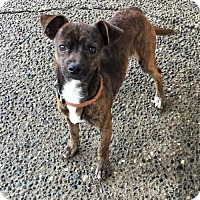 Adopt A Pet :: ARMANDO (Auburn) sweet dog friendly boy - Bainbridge Island, WA