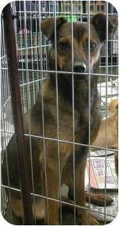 Shepherd (Unknown Type)/Terrier (Unknown Type, Medium) Mix Dog for adoption in Fowler, California - Bella