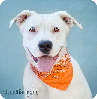 Labrador Retriever/American Bulldog Mix Dog for adoption in Phoenix, Arizona - FAITH