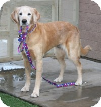 Golden Retriever Mix Dog for adoption in Scottsdale, Arizona - Princess