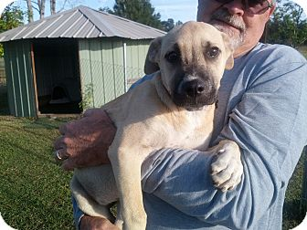 Black Mouth Cur/Rhodesian Ridgeback Mix Dog for adoption in Williston, Florida - Sadie