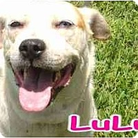 Boxer/Siberian Husky Mix Dog for adoption in Orlando, Florida - LuLu