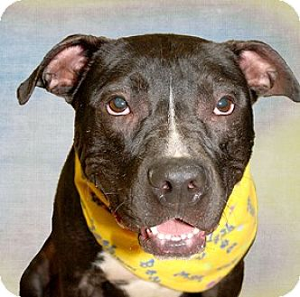 American Bulldog Mix Dog for adoption in Cincinnati, Ohio - Duke