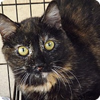 Domestic Shorthair Cat for adoption in Mesa, Arizona - Melody