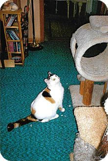Calico Cat for adoption in Cincinnati, Ohio - zz 'Patty Cake' courtesy listing