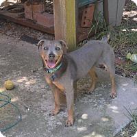 Adopt A Pet :: Dazzle - Austin, TX