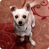 Columbus Oh Chihuahua Terrier Unknown Type Small Mix