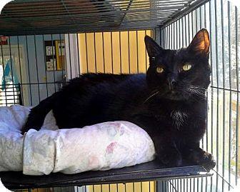 Domestic Shorthair Cat for adoption in Augusta, Georgia - Midnight