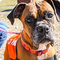 Adopt A Pet :: Sauerkraut - Austin, TX