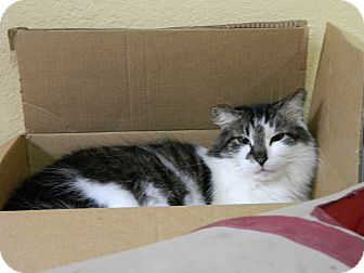 Domestic Longhair Cat for adoption in Jupiter, Florida - KitKat