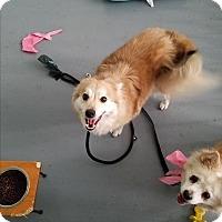 Adopt A Pet :: Maisie bonded with Schatzi - Las Vegas, NV