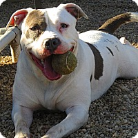 Adopt A Pet :: Dolce - West Babylon, NY