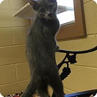 Domestic Shorthair Kitten for adoption in Herndon, Virginia - Jill