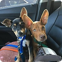 Adopt A Pet :: Rocky - Willingboro, NJ