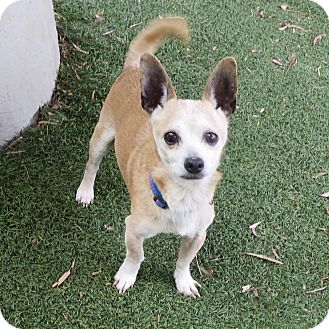 Chihuahua Mix Dog for adoption in Oakland, California - SPONSORED: Max