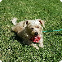Adopt A Pet :: Amy - Thousand Oaks, CA