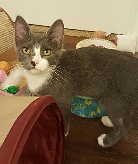 Domestic Shorthair Kitten for adoption in Austin, Texas - Mary 3