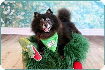 Pomeranian Dog for adoption in Dallas, Texas - Arkansas Bear