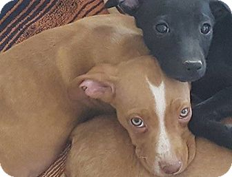 Boxer/Dachshund Mix Puppy for adoption in Las Cruces, New Mexico - Willow
