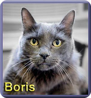 Domestic Mediumhair Cat for adoption in Aldie, Virginia - Boris