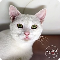 Domestic Shorthair Cat for adoption in Lyons, New York - Crystal
