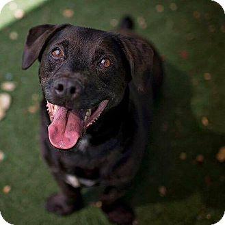 Labrador Retriever/Basset Hound Mix Dog for adoption in San Diego, California - Oswald