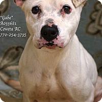 American Bulldog Mix Dog for adoption in Newnan City, Georgia - Gabe