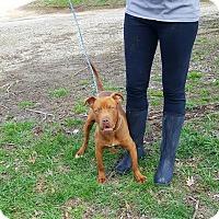 Adopt A Pet :: Red - Glastonbury, CT