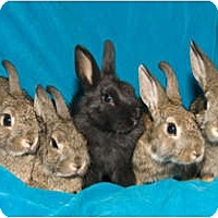 Adopt A Pet :: Five baby bunnies - Los Angeles, CA