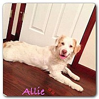 Adopt A Pet :: Allie - Maryville, IL