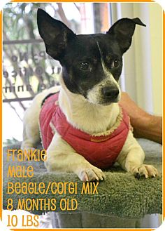 Beagle Mix Dog for adoption in Beaumont, Texas - Frankie