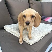 Adopt A Pet :: Ramona - Los Angeles, CA