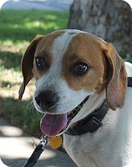 Beagle Mix Dog for adoption in Lodi, California - Louie