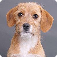 Adopt A Pet :: Bitsy - Sudbury, MA