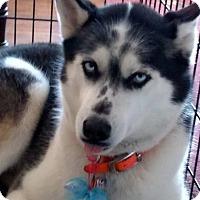 Adopt A Pet :: Abbey - Crystal Lake, IL