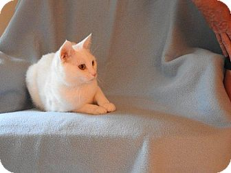 Domestic Shorthair Cat for adoption in Chaska, Minnesota - Smalz