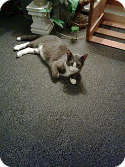 Domestic Shorthair Cat for adoption in Acushnet, Massachusetts - Smokey