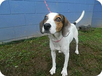 Jack Russell Terrier/Hound (Unknown Type) Mix Dog for adoption in Randleman, North Carolina - Zelda