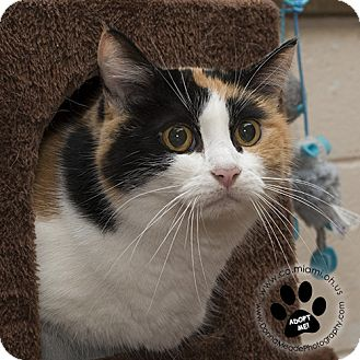 Domestic Shorthair Cat for adoption in Troy, Ohio - Lucy