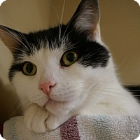 Domestic Shorthair Cat for adoption in Salem, New Hampshire - Freedom