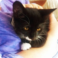 Domestic Shorthair Kitten for adoption in Indianapolis, Indiana - Beetle Bug