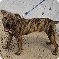 Whippet/Pit Bull Terrier Mix Puppy for adoption in Bronx, New York - Bruce